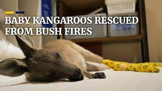 Baby kangaroos rescued from bush fires
