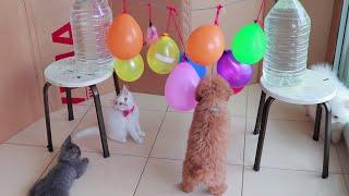 Logic Dogs Cats vs Balloon - Funny Cute Puppies Pomeranian, Poodle & Kittens British | Mr Pet