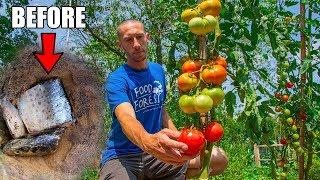 What Happens When You Bury A Fish Under A Tomato Plant? THE RESULTS!!!