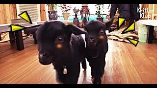 Today, Baby Goat Sisters Screwed Up My Restaurant Business Again.. | Kritter Klub